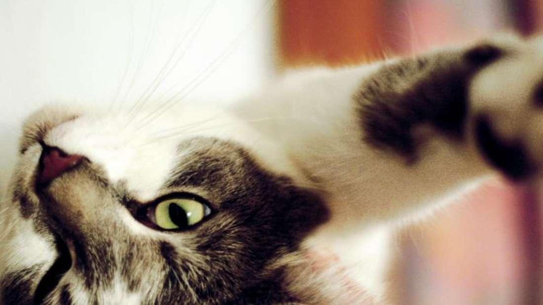 Ein weiß-graue Katze liegt auf dem Rücken (Symbolbild).