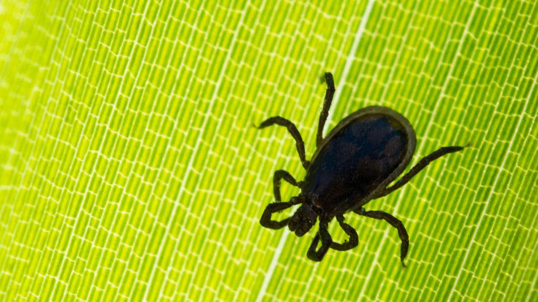 Eine Zecke krabbelt auf einem Blatt im Garten (Symbolbild).
